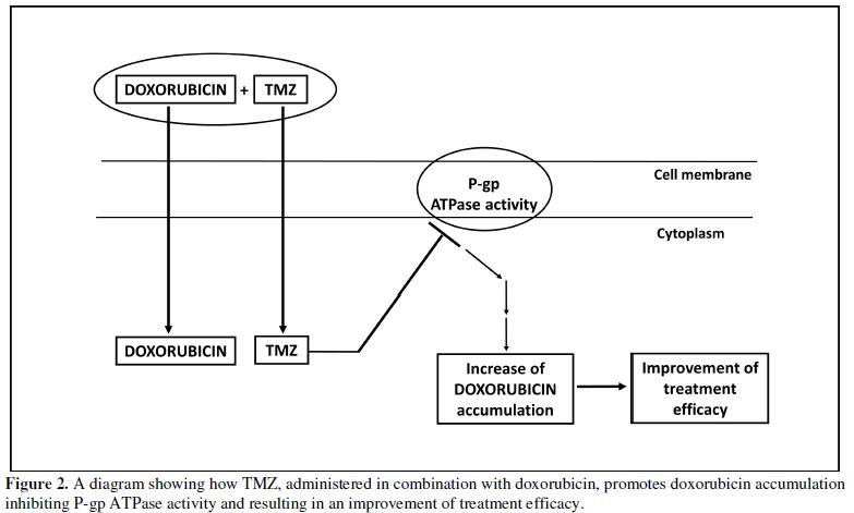 SCITECH - TMZ Resistance in Glioblastoma: Role of P-Glycoprotein
